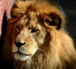 dreamstimefree_962528 lion