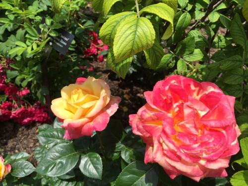 Chicago Botanic Garden's Rose Garden